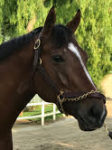 Wellabled will run in the BC Juvenile Turf